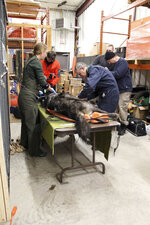 This Feb 27, 2019 photo provided by the Ontario Ministry of Natural Resources and Forestry, the U.S. National Park Service and the National Parks of Lake Superior Foundation shows an Ontario wolf being processed at the handling station in Wawa, Ontario before being released to Isle Royale National Park in Michigan. Authorities have relocated four Canadian wolves to Isle Royale National Park in Michigan in an ongoing effort to restore the predator species on the Lake Superior island chain.  (Ashley McLaren/Ontario Ministry of Natural Resources and Forestry via AP)