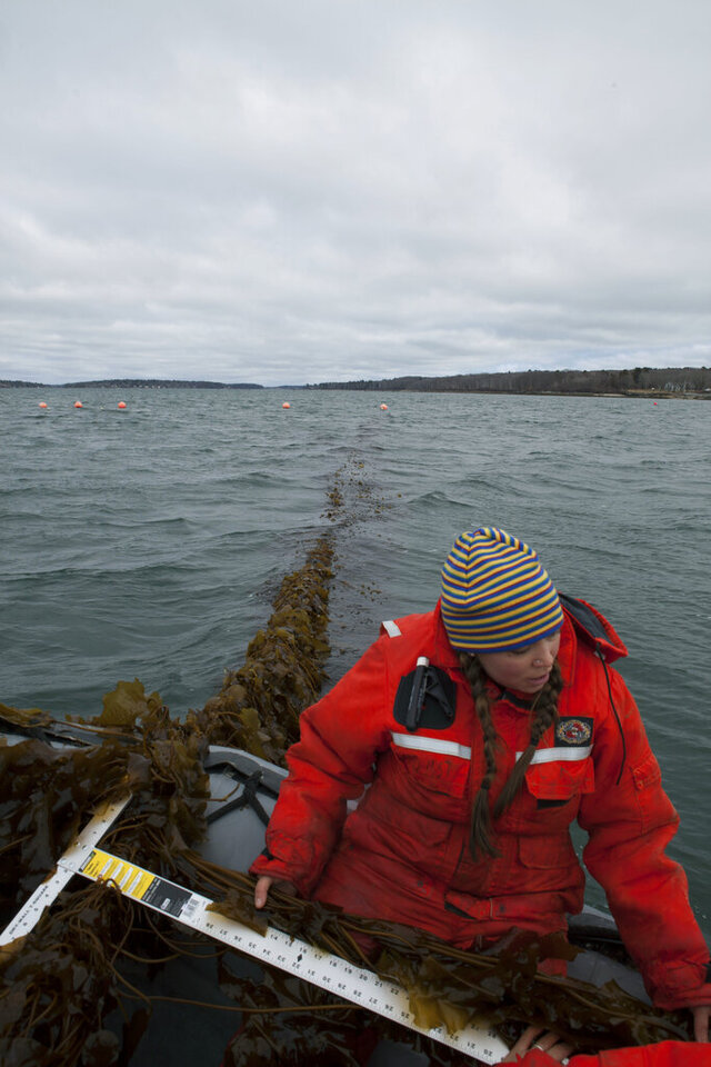 In this March 2016 photo provided by The Island Institute, Bigelow Laboratory Research Associate Brittney Honisch measures a piece of sugar kelp before harvest in Casco Bay, Maine. A group of scientists with Bigelow Laboratory for Ocean Sciences and farmers in northern New England are working on a plan to feed seaweed to cows to gauge whether it can help reduce greenhouse gas emissions that contribute to climate change.  (Scott Sell/The Island Institute via AP)