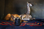 Hunter, a young Belgian Malinois, keeps an eye on Jazz, a nine-day-old giraffe, at the Rhino orphanage in the Limpopo province of South Africa, Friday Nov. 22 2019. Jazz, who was brought in after being abandoned by her mother at birth, is being taken care of and fed at the orphanage some three hours North of Johannesburg, and has been befriended by Hunter and its sibling Duke. (AP Photo/Jerome Delay)