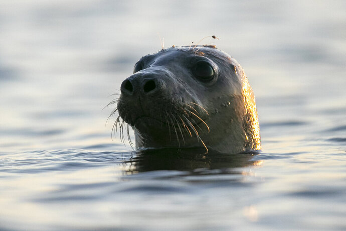 A seal pokes his head out of the water in Casco Bay, Thursday, July 30, 2020, off Portland, Maine. Seals are thriving off the northeast coast thanks to decades of protections. Many scientists believe the increased seal population is leading to more human encounters with white sharks, who prey on seals. (AP Photo/Robert F. Bukaty)