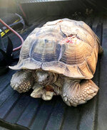 This photo provided by the Cal Fire Tuolumne-Calaveras Unit show a tortoise that had been struck and injured by a vehicle on a busy highway in San Andreas, Calif., on Aug .5, 2020. The tortoise, who has been named