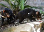FILE - In this Jan. 13, 2009, file photo Tasmanian devil cubs search for food during a feeding session in their enclosure at Sydney's Taronga Zoo. Tasmanian devils, the carnivorous marsupials whose feisty, frenzied eating habits won the animals cartoon fame, have returned to mainland Australia for the first time in some 3,000 years. Conservation groups have recently released some cancer-free devils in a wildlife refuge on the mainland, and they plan to release more in the coming years. Their hope is that the species will thrive and improve the biodiversity.  (AP Photo/Mark Baker, File)