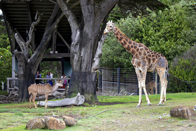 This June 13, 2019, photo provided by the San Francisco Zoo & Gardens shows a giraffe named Floyd in his enclosure with a Kudu at the San Francisco Zoo & Gardens. Floyd, the oldest and tallest giraffe at the San Francisco Zoo, died Friday, July 24, 2020. The 18-year-old reticulated giraffe had joint degeneration from aging and his health had declined. (Marianne Hale/San Francisco Zoo & Gardens via AP)