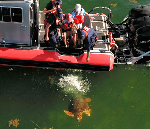 In this aerial drone photo, provided by the Florida Keys News Bureau, staff from the Florida Keys-based Turtle Hospital and U.S. Coast Guard release