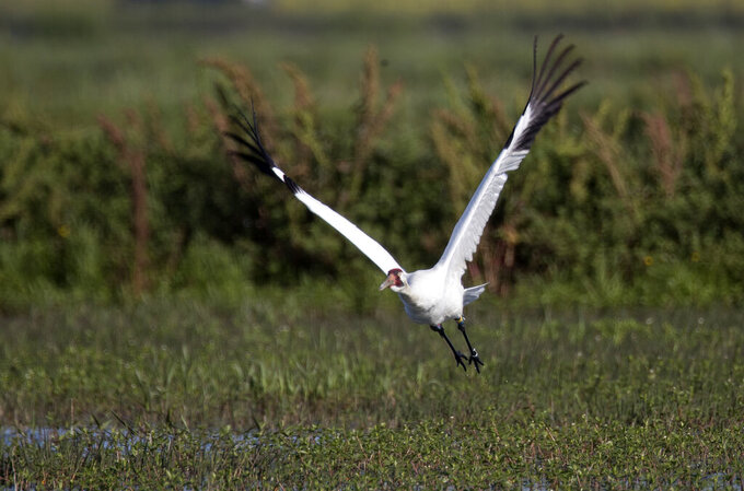 FILE - In this March 23, 2018 file photo, a whooping crane, a critically endangered species, flies away from its nest with eggs, in a crawfish pond in St. Landry Parish, La. The sentence given Thursday, July 30, 2020 to Kaenon Constantin of Rayne is the toughest ever in Louisiana for a crime involving one of the endangered birds, the International Crane Foundation said in a news release.   (AP Photo/Gerald Herbert, File)