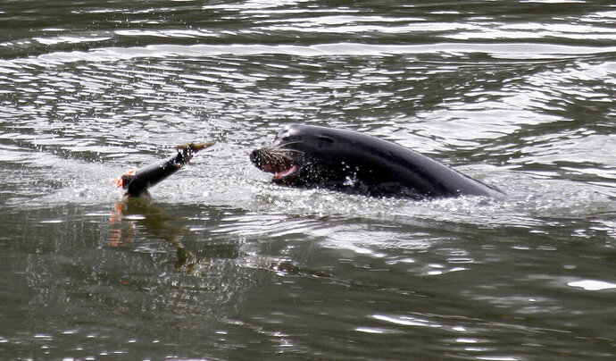 File - In this May 4, 2010, file photo, a sea lion tosses a partially eaten salmon in the Columbia River near Bonneville Dam, where six more sea lions were trapped earlier in the day with one to be euthanized, in North Bonneville, Wash. More than 1,100 sea lions could be killed annually in a nearly 300-mile stretch of the Columbia River on the Oregon-Washington border to boost faltering populations of salmon and steelhead. The National Marine Fisheries Service said Friday, Aug. 30, 2019, it's taking public comments on the plan requested by Idaho, Oregon, Washington and tribes in those states. (AP Photo/Don Ryan, File)