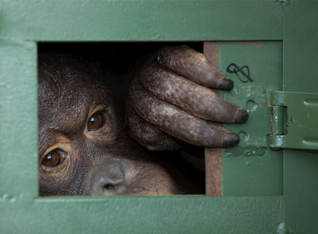 Cola, 10-year-old female orangutan waits in a cage to be sent back to Indonesia at a Suvarnabhumi Airport in Bangkok, Thailand, Friday, Dec. 20, 2019. Wildlife authorities in Thailand repatriated two orangutans, Cola and 7-year-old Giant, to their native habitats in Indonesia in a collaborative effort to combat the illicit wildlife trade. Cola was born in a breeding center from two smuggled orangutans which were sent back to Indonesia several years ago, according to the  Department of National Park, Wildlife and Plant Conservation. (AP Photo/Sakchai Lalit)
