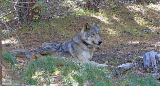 In this undated photo released by the U.S. Fish and Wildlife Service shows a dispersing wolf from the Oregon Pack OR-54, a descendent of the famous OR-7, the first wild wolf in California in nearly a century. The California Department of Fish and Wildlife says the 3- to 4-year-old female dubbed OR-54 was found on Wednesday, Feb. 5, 2020, in Shasta County, Calif. It's not clear yet whether she died by accident, naturally or was deliberately and illegally killed.  (U.S. Fish and Wildlife Service via AP)