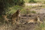 In this Sunday July 7, 2019 photo, lions rest under a tree in Tanzania's Tarangire National Park. The survival of lions _ and many other threatened savannah species, from cheetahs to giraffes to elephants _ likely depends on finding a way for people, livestock and wild beasts to continue to use these lands together, on the plains where the earliest humans walked upright through tall grass. (AP Photo/Jerome Delay)