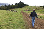 In this photo taken Sept. 20, 2019, rancher Jerome Rosa, who is executive director of the Oregon Cattlemen's Association, walks toward some of his cows in Marquam, Ore.  The Trump administration's trade war is affecting Oregon's agricultural exports more than most states because 40% of the state's agriculture production is sent abroad. That's compared to 20% for the rest of the U.S. The heads of the associations representing Oregon's wheat and hazelnut farmers and cattle ranchers recently joined the director of the state agriculture department to describe the toll to state lawmakers. They say sales of beef and wheat to China have halted. (AP Photo/Andrew Selsky)