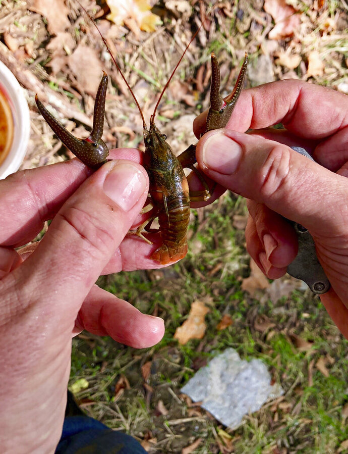 "This August 2018 photo provided by the U.S. Fish and Wildlife Service and taken near Nashville, Tenn., shows the endangered Nashville crayfish, which only lives in the Mill Creek watershed of greater Nashville. The U.S. Fish and Wildlife Service has proposed removing the crustacean from the endangered species list, saying the population is now ""healthy, stable and robust."" Some environmental groups oppose the plan. (Phil Kloer/U.S. Fish and Wildlife Service via AP)"
