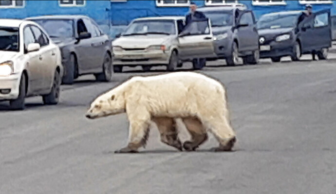 This image taken from video released by @putoranatour/Oleg Krashevsky on Monday, June 17, 2019, shows a polar bear crossing a road in Norilsk, Russia. An emaciated polar bear has been sighted in a Russian industrial city in Siberia, far south of its normal hunting grounds. (Oleg Krashevsky@putoranatour via AP)