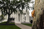 A shell of a Brood X cicada is seen on a tree on the North Lawn of the White House in Washington, Tuesday, May 25, 2021.  Reporters traveling to the United Kingdom ahead of President Joe Biden's first overseas trip were delayed seven hours after their chartered plane was overrun by cicadas. The Washington, D.C., area is among the many parts of the country confronting the swarm of Brood X, a large emergence of the loud 17-year insects that take to dive-bombing onto moving vehicles and unsuspecting passersby. Weather and crew rest issues also contributed to the flight delay.(AP Photo/Carolyn Kaster)