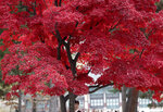 In this Wednesday, Nov. 7, 2018, file photo, a woman stands for souvenir photo under leaves in autumn color at the Gyeongbok Palace, the main royal palace during the Joseon Dynasty, and one of South Korea's well known landmarks in Seoul, South Korea. (AP Photo/Lee Jin-man, File)