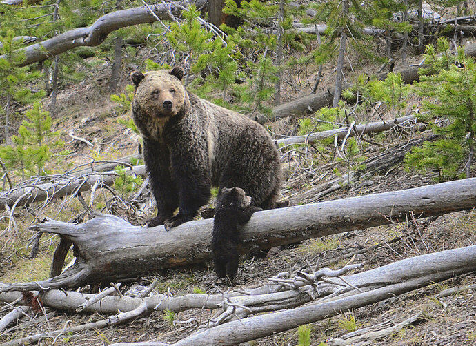 FILE - This April 29, 2019 file photo provided by the United States Geological Survey shows a grizzly bear and a cub along the Gibbon River in Yellowstone National Park, Wyo. Wildlife advocates are seeking a court order that would force U.S. officials to consider if grizzly bears should be restored to more Western states following the animals' resurgence in the Northern Rockies.  (Frank van Manen/The United States Geological Survey via AP,File)