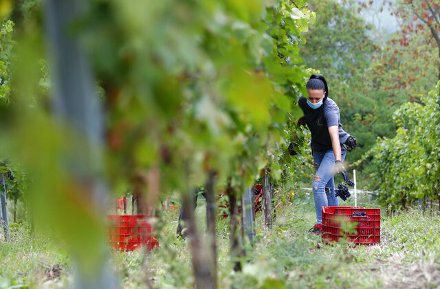 Alexandra Ichim, a 20-year-old Romanian, works during a grape harvest in Rocca de Giorgi, Italy, Thursday, Sept. 10, 2020. Though from a Romanian region famed for its wine, Ichim had never worked in vineyards before traveling to Italy's Lombardy region for the September grape harvest, known in Italian as the vendemmia — the pay is too low in Romania and the working conditions too harsh, she says. Instead, the 20-year-old came on a 12-hour bus ride and returned by plane to her native Arad region when the harvest was done. (AP Photo/Antonio Calanni)