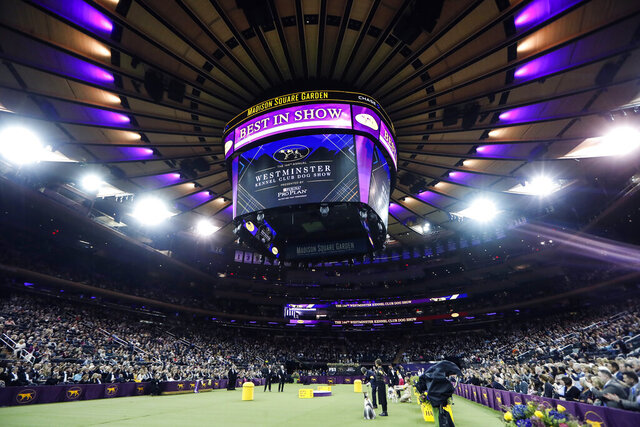 FILE - In this  Tuesday, Feb. 11, 2020 file photo, Judging commences in the Best in Show competition in the 144th Westminster Kennel Club dog show in New York. The Westminster dog show is set to take a long walk. The nation's top pooch pageant will be held outdoors at an estate about 25 miles north of Manhattan on June 12-13 because of the pandemic, the Westminster Kennel Club said Wednesday, Oct. 21, 2020. (AP Photo/John Minchillo, File)