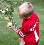 In this Saturday, Sept. 7, 2019 photo, Brayden Kreifels picks an apple during Applefest at Christ United Methodist in Lincoln, Neb. (Emily Janey/Lincoln Journal Star via AP)