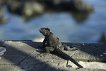 In this May 2, 2020 photo, a marine iguana suns on the edge of a boardwalk in San Cristobal, Galapagos Islands, Ecuador. Before the new coronavirus pandemic, sudden life-threatening ailments on the Galapagos Islands were considered so rare that hospitals didn't have a single intensive care unit bed. Now, officials are racing to equip medical teams on the remote islands. (AP Photo/Adrian Vasquez)