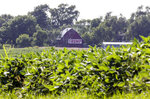 FILE - In this July 24, 2018, file photo a field of soybeans is seen in front of a barn carrying a large Trump sign in rural Ashland, Neb. President Donald Trump's boundless enthusiasm for tariffs has upended decades of Republican trade policy that favored free trade. It has left the party's traditional allies in the business world struggling to maintain political relevance in the Trump era. (AP Photo/Nati Harnik, File)