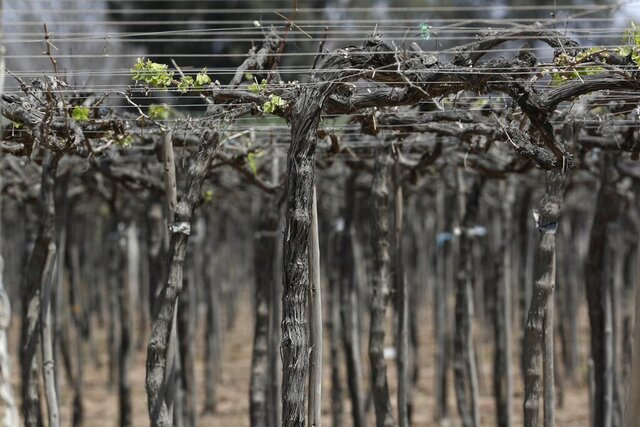 A vineyard stands in Ica, Peru, Monday, Sept. 28, 2020. More than 500 Pisco producers have seen their sales collapse by half and thousands of grape growers have had their fields ruined because of the late harvests, because of the strict lockdown implemented to stop COVID-19. (AP Photo/Martin Mejia)