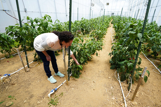 Ashley Walsh, founder of Pocono Organics farm, checks on a pepper plant at the farm adjacent to Pocono Raceway, Friday, June 25, 2021, in Long Pond, Pa. The 380 acre farm is the title sponsor for Saturday's NASCAR auto race, The Pocono Organics CBD 325, the first Cup race with a CBD sponsorship. (AP Photo/Matt Slocum)