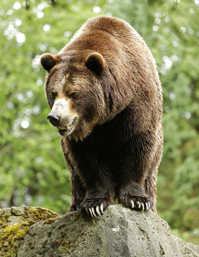 FILE - In this June 2, 2016, file photo, a grizzly bear at the Woodland Park Zoo waits for a salmon to be tossed to him in Seattle. The federal government on Tuesday, July 7, 2020, decided to scrap plans to reintroduce grizzly bears to the North Cascades ecosystem in Washington state. (AP Photo/Ted S. Warren, File)