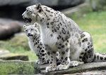 Ahava, left, a 3-month-old snow leopard cub,  sits in an enclosure with her mother Malaya, Wednesday, Sept. 9, 2020, at Brookfield Zoo in Brookfield, Ill. Ahava made her debut at the zoo outside Chicago on an unusually cool day. Temperatures hovered in the mid-60s as Ahava (Ah-ha-vah), love in Hebrew, explored her outdoor habitat along the zoo's Big Cats walkway. The cub has been kept behind the scenes as she bonded with her mother Malaya, (Jim Schulz/Chicago Zoological Society via AP)