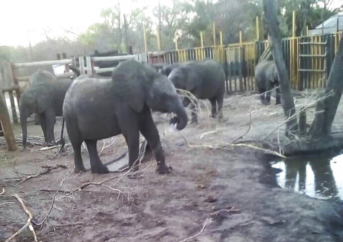 This photo supplied by the Humane Society International/Africa (HSI/Africa) shows young elephants being held in a fenced area in the Hwange Game Reserve in Zimbabwe Friday, Oct. 18, 2019, being held for export to China. About 30 elephants, estimated to be 2 to 6 years old, were separated from maternal herds and held at Zimbabwe's Hwange National Park for nearly a year before being flown out this week to China where they will be held in zoos, according to the Humane Society International.(Photo HSI/Africa via AP)