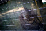 In this Sept. 3, 2019 photo, the orangutan Sandra looks out from her enclosure at the former city zoo now known as Eco Parque, in Buenos Aires, Argentina. It has been a long journey for the 33-year-old orangutan, who was born in a zoo in Germany and moved to Argentina a quarter century ago. (AP Photo/Natacha Pisarenko)