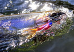 FILE - In this July 7, 2016file photo, a steelhead trout is reeled in near Dodge Bridge along the Rogue River in Shady Cove, Ore. Oregon wildlife officials have started killing California sea lions that threaten the fragile and unique type of trout in the Willamette River, a body of water that's miles inland from the coastal areas where the massive carnivorous aquatic mammals usually congregate to feed. The state Department of Fish and Wildlife obtained a federal permit in November 2018 to kill up to 93 California sea lions annually below Willamette Falls south of Portland, Oregon, to protect the winter run of the fish that begin life as rainbow trout but become steelhead when they travel to the ocean. (Jamie Lusch/The Medford Mail Tribune via AP, File)