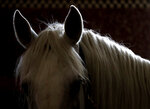 In this photo taken on Thursday, July 11, 2019, a horse stands in its stable at a stud farm in Kladruby nad Labem, Czech Republic. UNESCO this month added a Czech stud farm to its World Heritage List, acknowledging the significance of a horse breeding and training tradition that has survived centuries. Founded 440 years ago to breed and train ceremonial horses to serve at the emperor's court, the National stud farm and its surrounding landscape have kept its original purpose since. (AP Photo/Petr David Josek)