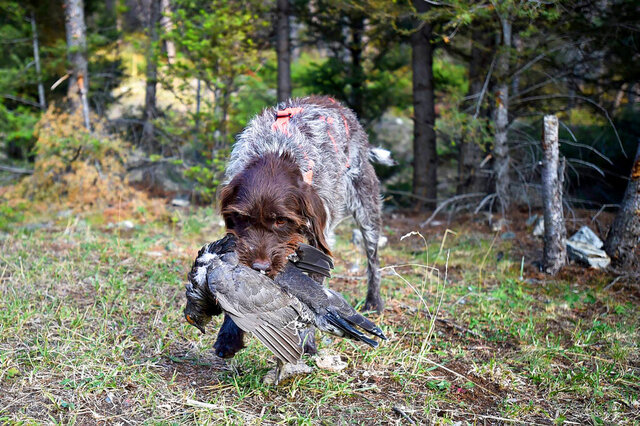 Covey, a wirehaired pointing Griffon, retrieves a blue grouse in the Helena-Lewis and Clark National Forest, is shown in an undated photo. (Thom Bridge/Independent Record via AP)