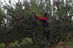In this Sunday, Oct. 6, 2019 photo, a Kashmiri farmer Imtiyaz Ahmad plucks apples at his orchard in Wuyan, south of Srinagar Indian controlled Kashmir. The apple trade, worth $1.6 billion in exports in 2017, accounts for nearly a fifth of Kashmir's economy and provides livelihoods for 3.3 million. This year, less than 10% of the harvested apples had left the region by Oct. 6. Losses are mounting as insurgent groups pressure pickers, traders and drivers to shun the industry to protest an Indian government crackdown. (AP Photo/Dar Yasin)