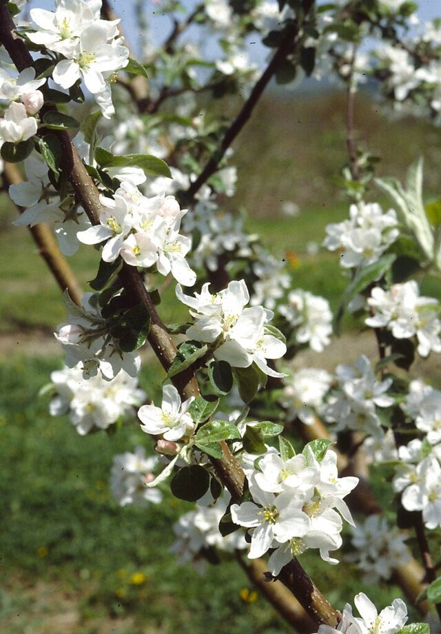 This undated photo shows apple blossoms in New Paltz, N.Y. Warm, spring temperatures can coax a spectacular show of apple blossoms only after the trees have put about 1000 accumulated hours of cool, not frigid, temperatures into their chilling