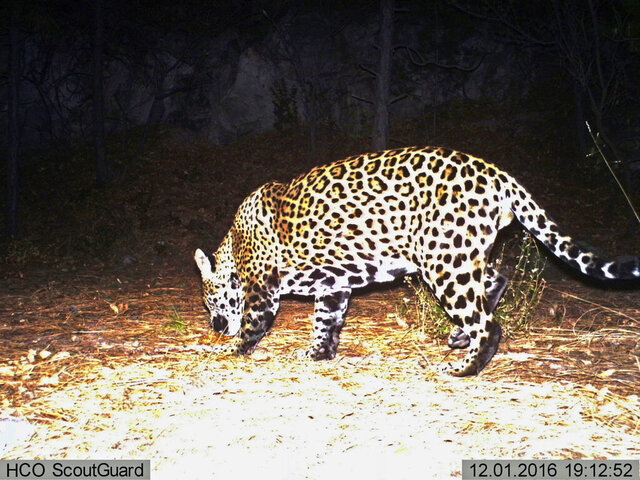 FILE - In this Dec. 1, 2016, file image from video provided by Fort Huachuca, a wild jaguar is seen in southern Arizona. A federal appeals court is ordering a New Mexico judge to reconsider a case involving a fight over a critical habitat in the U.S. Southwest for endangered jaguars. Ranchers had sued, arguing that a decision by the U.S. Fish and Wildlife Service to set aside thousands of acres for the cats violated the statute that guides wildlife managers in determining whether certain areas are essential for the conservation of a species. The appellate court this week overturned an earlier ruling that had sided with federal officials. (Fort Huachuca via AP, File)