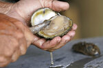 Mitch Jurisich shucks oysters he pulled from his oyster beds in the aftermath of Hurricane Ida in Plaquemines Parish, La., Monday, Sept. 13, 2021. (AP Photo/Gerald Herbert)