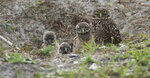 FILE - In this May 2, 2012 file photo, a mature burrowing owl and three young chicks sit at the entrance to their nest in Brian Piccalo Park in Pembroke Pines, Fla. Researchers have discovered a group of rare burrowing owls thriving in a nature preserve near Los Angeles International Airport, according to a newspaper report Sunday, Feb. 17, 2019. The 10 burrowing owls are the most seen at LAX Dunes Preserve in 40 years, the Los Angeles Times reported. (AP Photo/J Pat Carter, File)