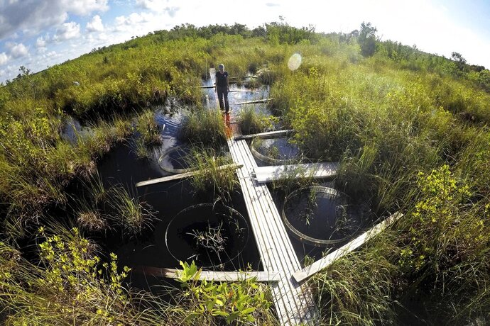 In this Monday, Oct. 21, 2019 photo, Tiffany Troxler, research scientist and professor at Florida International University walks on a boardwalk at a wetlands research site at Everglades National Park near Flamingo, Fla. She's studying wetlands ecosystem and its relation to sea-level rise. (AP Photo/Robert F. Bukaty)