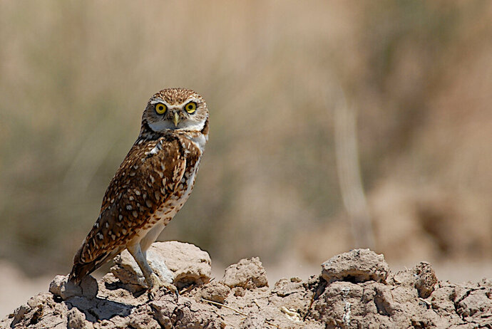 This Thursday, May 24, 2007 photo released by the U. S. Geological Survey shows a burrowing owl in the Salton Sea, Calif. Researchers have discovered a group of rare owls thriving in a nature preserve near Los Angeles International Airport, LAX. The Los Angeles Times says Sunday, Feb. 17, 2019 that the 10 burrowing owls are the most seen at LAX Dunes Preserve in 40 years. Scientists attribute the return of the migratory owls to ongoing restoration work in the area. (Douglas Barnum, U. S. Geological Survey via AP))
