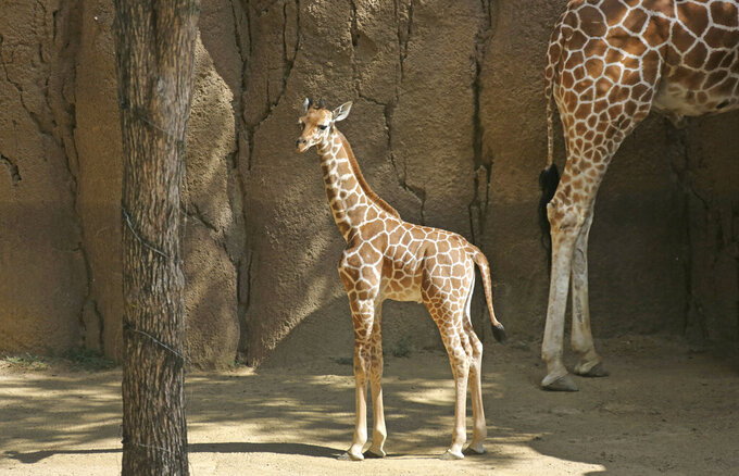 This May 24, 2018 photo shows Dallas Zoo's newest giraffe born April 25, makeing its first scheduled public appearance in Dallas.  The 1-year-old giraffe has died during a medical exam and officials want to know what caused the death of the animal named for Dallas Cowboys tight end Jason Witten. Dallas Zoo officials tweeted that the giraffe named Witten was not sick prior to Monday, June 17, 2019 examination amid plans to transfer him to a Canadian zoo for a species breeding program. (Louis DeLuca/The Dallas Morning News via AP)