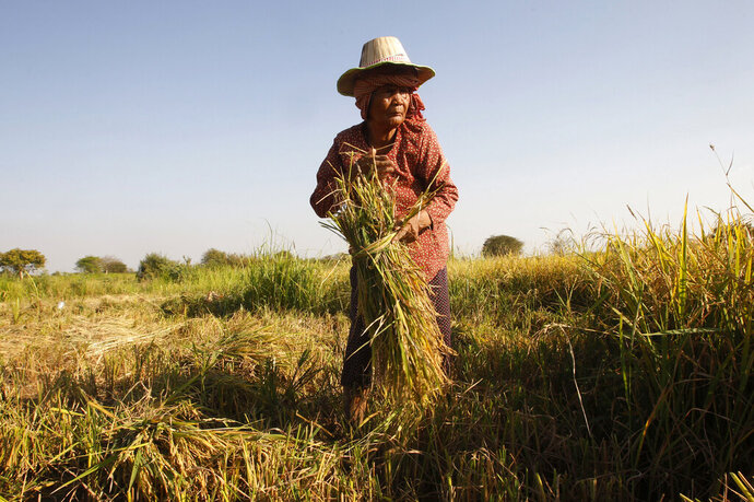 FILE - In this Feb. 11, 2019, file photo, woman cuts rice in the village of Samroang Kandal on the north side of Phnom Penh, Cambodia. Nearly a half-billion people in the Asia-Pacific are still malnourished and to achieve a goal of zero hunger by 2030 requires that millions escape food insecurity each month, according to a report released Wednesday by United Nations agencies. (AP Photo/Heng Sinith, File)