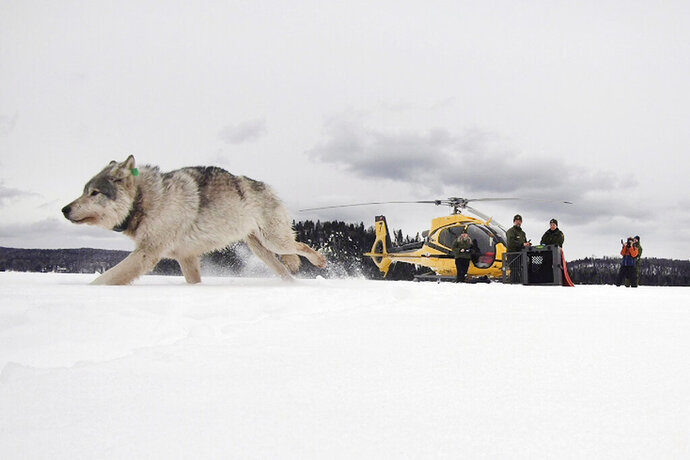 FILE - In this Feb. 28, 2019 file photo provided by the Ontario Ministry of Natural Resources and Forestry, the U.S. National Park Service and the National Parks of Lake Superior Foundation, a white wolf is released onto Isle Royale National Park in Michigan. Authorities are preparing for another mission to relocate gray wolves to Isle Royale National Park from a second Lake Superior island. The wolves would be moved from Michipicoten Island in Canadian territory, where they're in danger of starvation after gobbling up a caribou herd. The transfer planned for this weekend is part of a multi-year effort to rebuild wolf numbers at Isle Royale, which have plummeted in the past decade. (Daniel Conjanu/The National Parks of Lake Superior Foundation via AP, File)