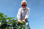 """Paul """"Paco"""" Ollerton looks closely at cotton plants on his farm near Casa Grande, Ariz., on Tuesday, July 20, 2021. Climate change, drought and high demand are expected to force the first-ever mandatory cuts from the Colorado River water supply, and Arizona farmers will be hit hardest. (AP Photo/Felicia Fonseca)"""