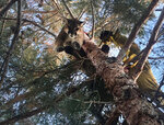 This Saturday, Feb. 16, 2019, photo provided by the California Department of Fish and Wildlife shows a mountain lion in a tree outside a private residence in the City of Hesperia, Calif. San Bernardino County Fire officials say the mountain lion was perched about 50 feet up the tree. State wildlife personnel tranquilized the animal, and firefighters lowered it to the ground using a rescue harness. (Rick Fischer/State Department of Fish and Wildlife Warden via AP)