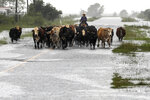 Jim Dunagan moves his cattle to higher ground as remnants of Tropical Depression Imelda flood parts of Southeast Texas, Thursday, Sept. 19, 2019, near Nome, Texas. Dunagan said his cattle were standing in water up to their stomachs before he and another man moved them to another pasture. He also said he thought the rain fell faster than it did during Hurricane Harvey, within a 24 hour to 48 hour period. (Jon Shapley/Houston Chronicle via AP)