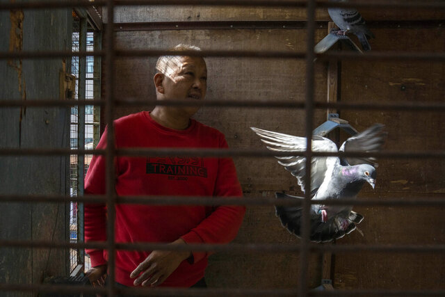 Huanan market vendor Jiang Dafa tends to his pigeons at home in Wuhan in central China's Hubei province on Oct. 22, 2020. China's search for the COVID-19 virus started in the Huanan Seafood market in Wuhan, a sprawling, low-slung complex where many of the first human coronavirus cases were detected. Scientists initially suspected the virus came from wild animals sold in the market. (AP Photo/Ng Han Guan)