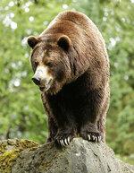 FILE - In this June 2, 2016, file photo, a grizzly bear at the Woodland Park Zoo waits for a salmon to be tossed to him in Seattle. Grizzly bears once roamed the rugged landscape of the North Cascades in Washington state but few have been sighted in recent decades. The federal government is scrapping plans to reintroduce grizzly bears to the North Cascades ecosystem. (AP Photo/Ted S. Warren, File)