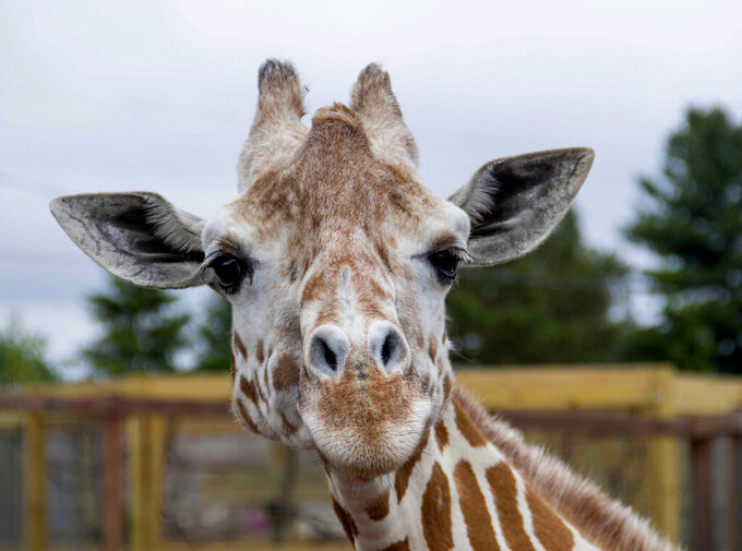 "This undated photo, provided by Animal Adventure Park on Sunday, June 3, 2018, shows a giraffe named April at Animal Adventure Park in Harpursville, N.Y. Park officials said 20-year-old April was euthanized ""due to her worsening arthritis."" (Animal Adventure Park via AP)"