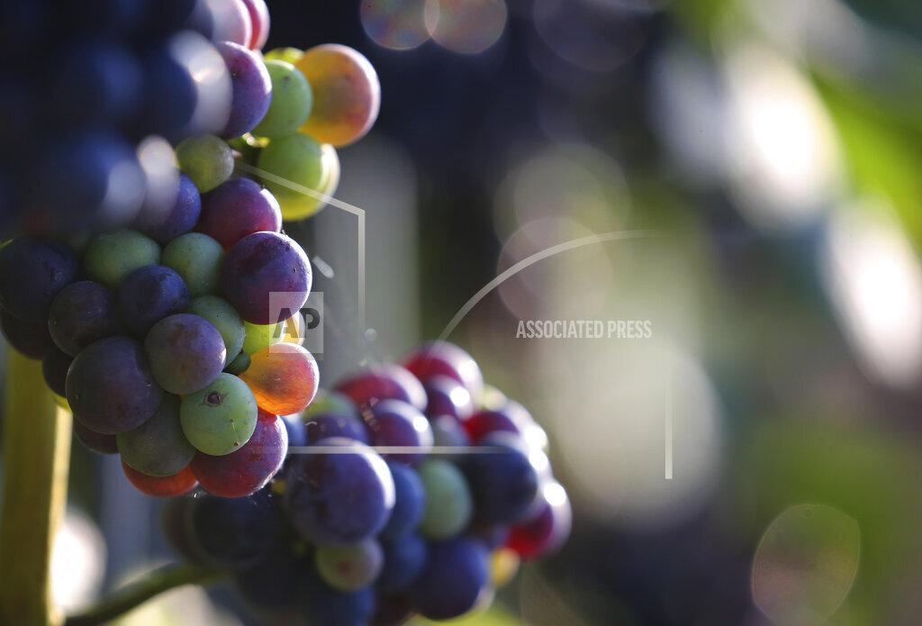 Grape in the evening light